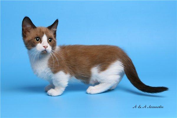 оформления кошка породы манчкин цена можно
