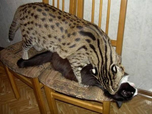 Купить камышовый кот цена