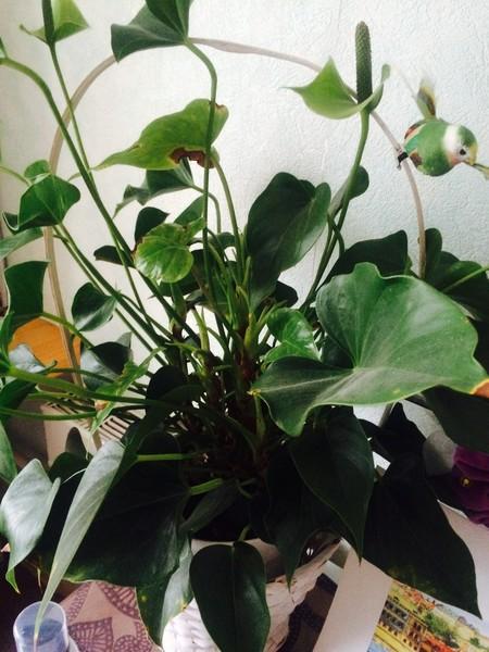 Комнатный цветок калла