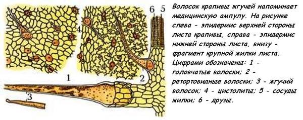 Крапива иголки