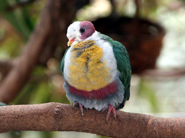 фото цветные голуби