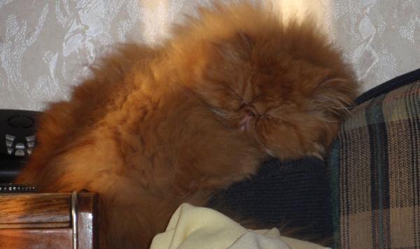 Кот спит головой вниз