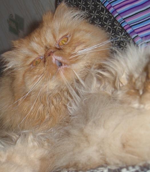 Персидский Кот Похудел. Почему кот худеет, но ест хорошо?
