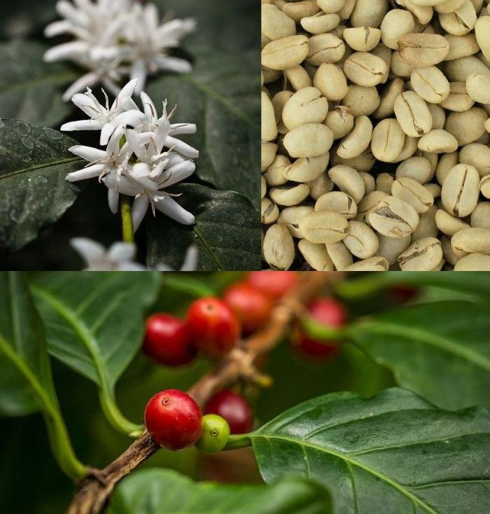 как растет кофейное дерево фото начала осваивать инстаграм