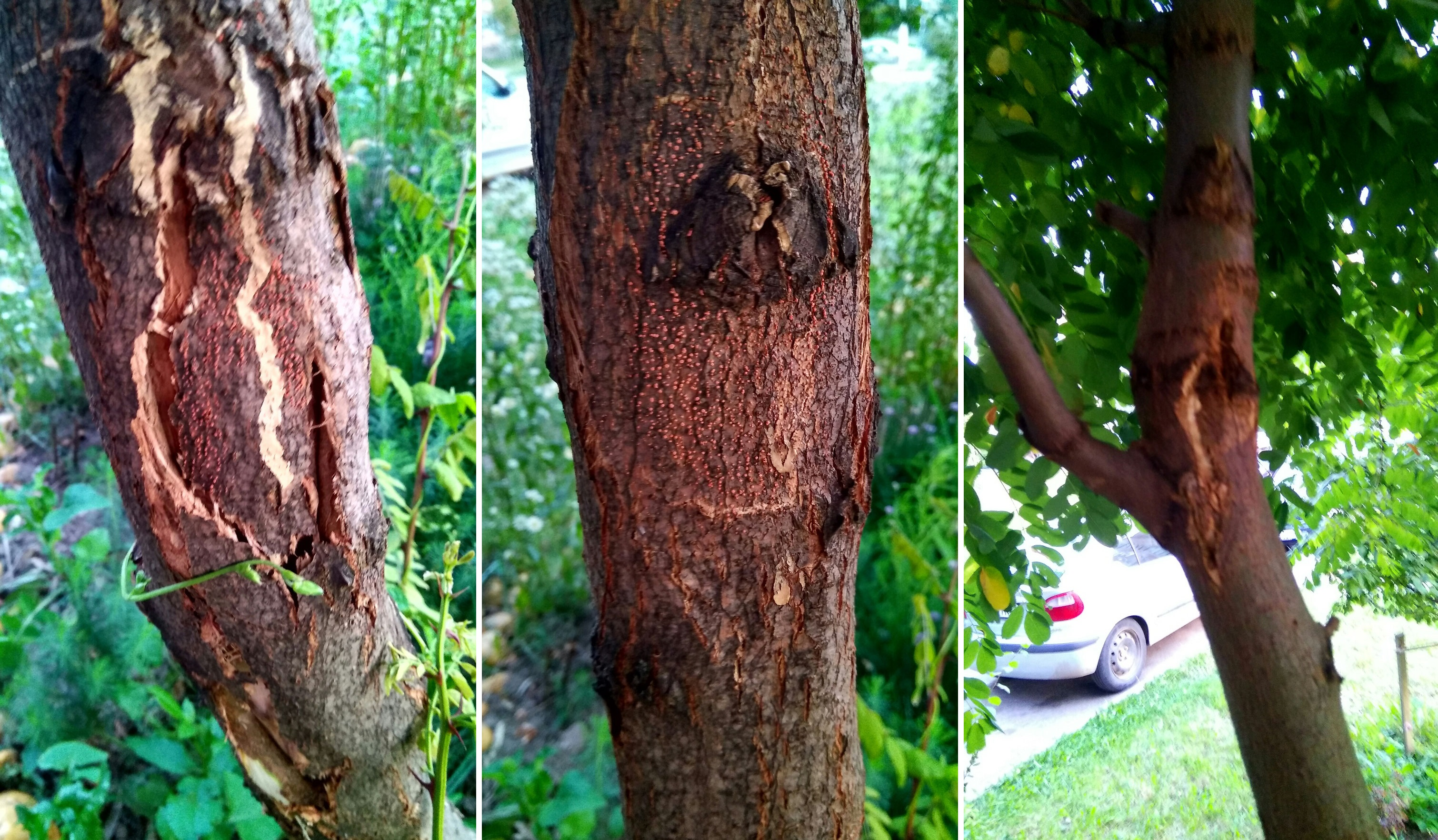 chestnut bark disease Chestnut bark disease download rating 3 and suggested read by user 493 online last modified september 21, 2018, 10:44 am find as text or pdf and doc document for the chestnut bark disease.