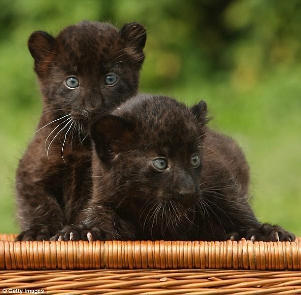 Картинки черные кошки