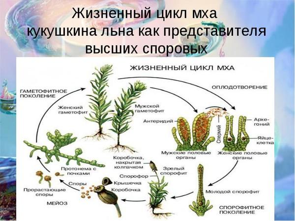 Мхи это высшие растения так как