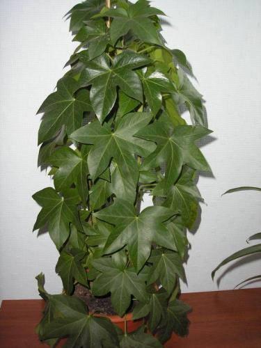 Фатсхедера: изысканная вечнозеленая лиана