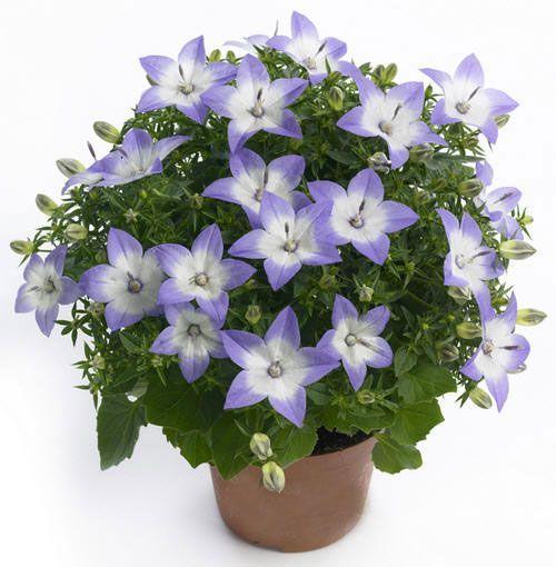 Жених и невеста цветы купить семена мимозы серебристой купить
