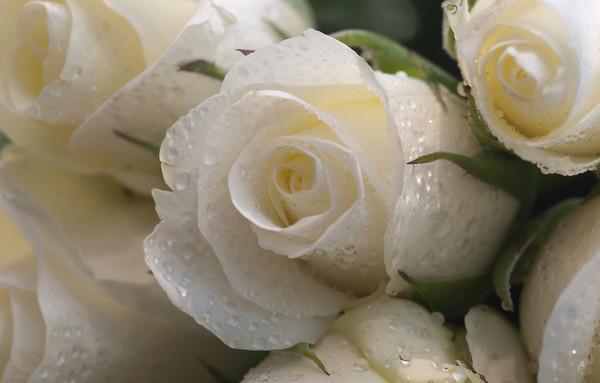 фото красивых роз белых