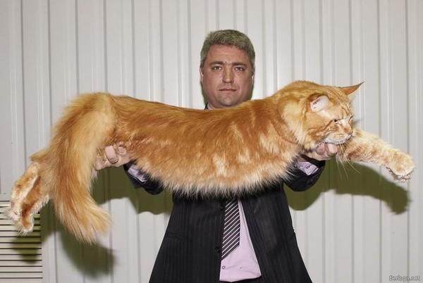 Купить рысь кот
