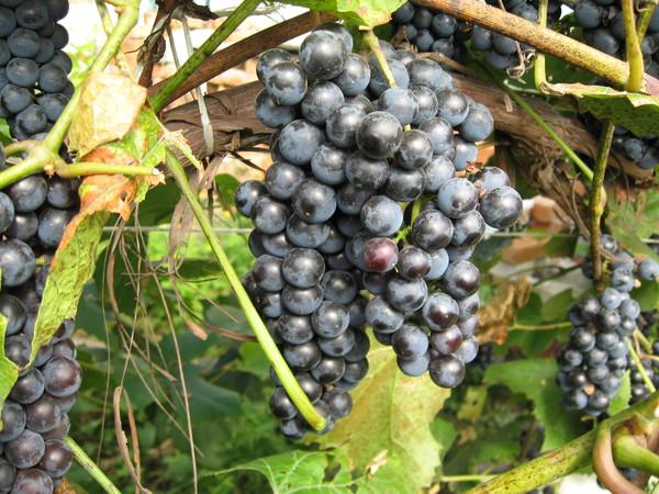 готовим виноградник к зиме в приморье дальневосточный регион