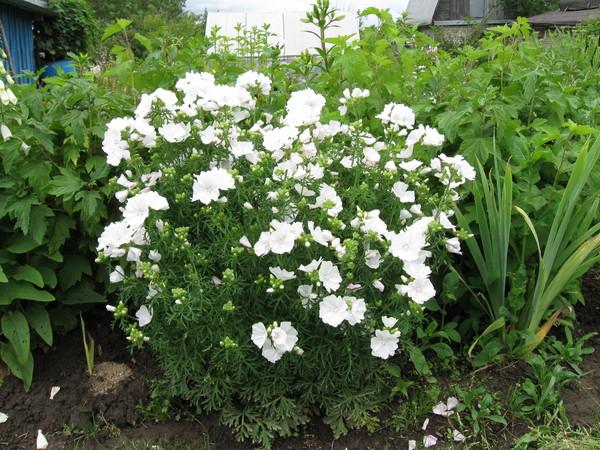 Невеста садовый цветок