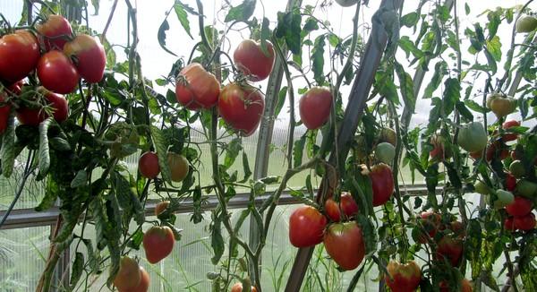 орлиное сердце помидоры фото