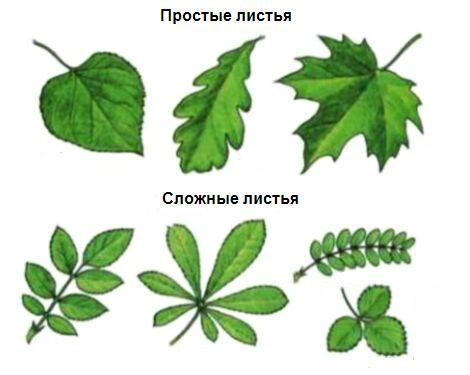 Простые листья и сложные листья картинки для 19