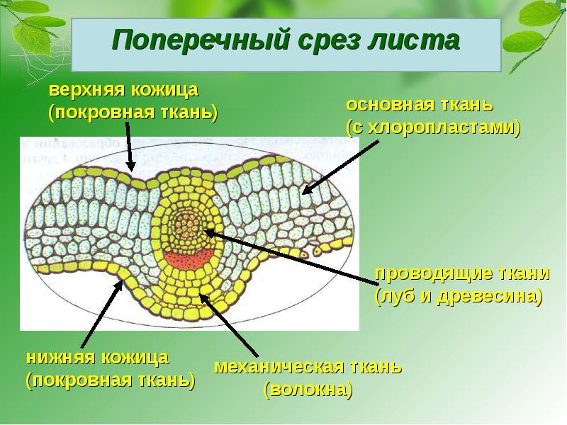 Опорную и выделительную функцию в клетке