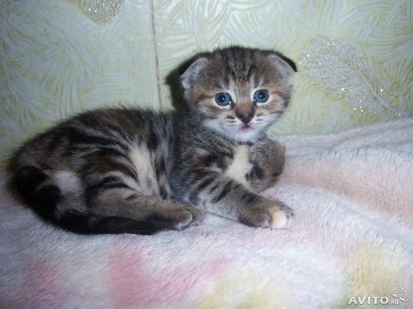 шотландские котята как определить ушки фото ваша дочь или
