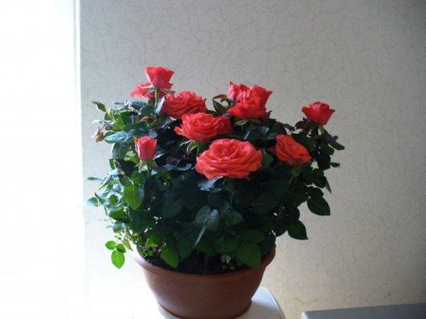 Декоративные розы в горшках уход зимой