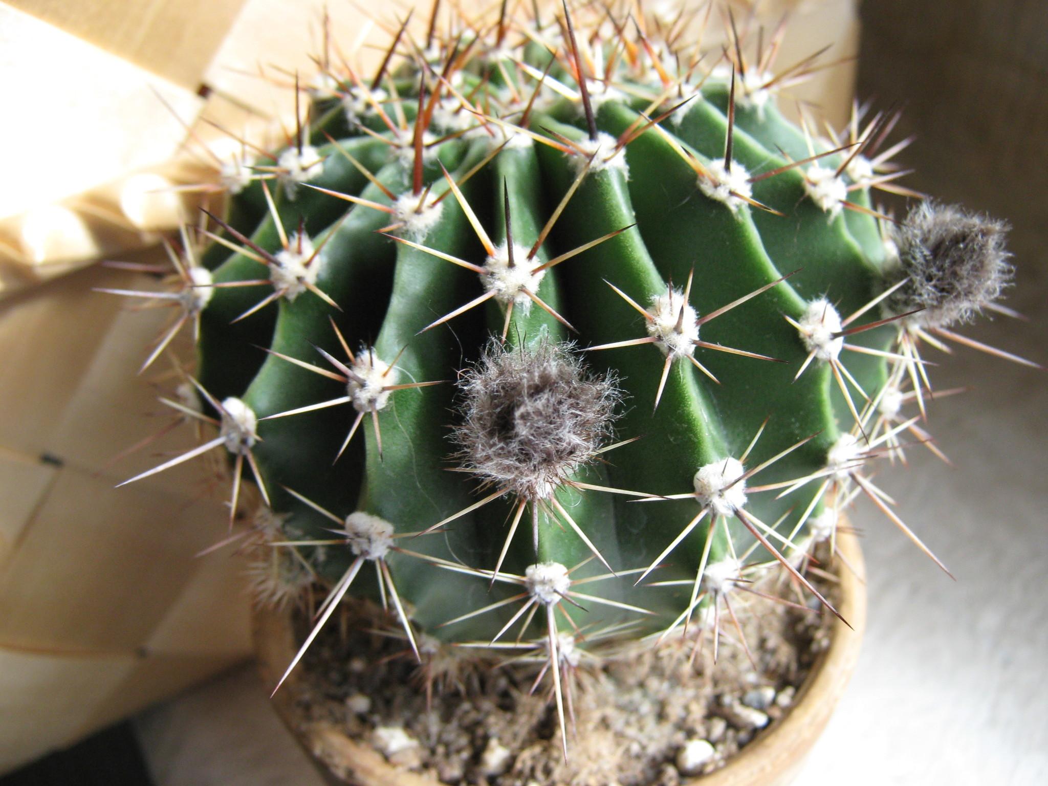 тюльпаны какие бутоны у кактусов фото начиная роддома