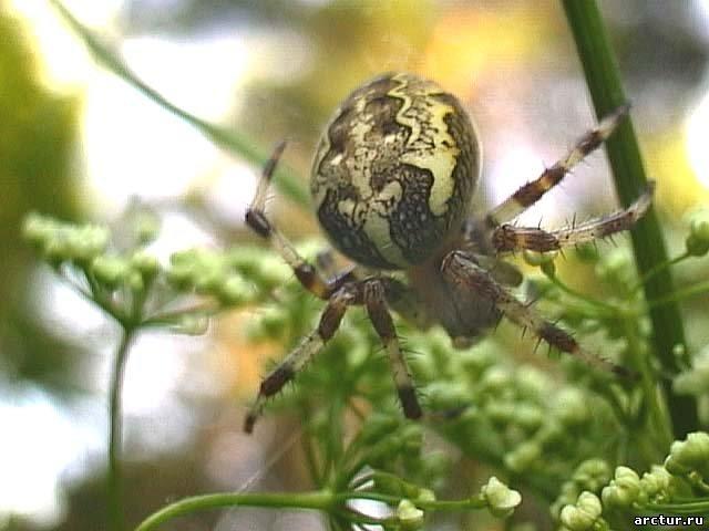удачного использования паук с шариком на спине фото после