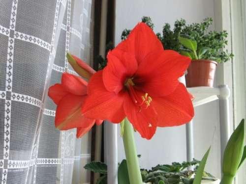 Почему лилия не цветёт