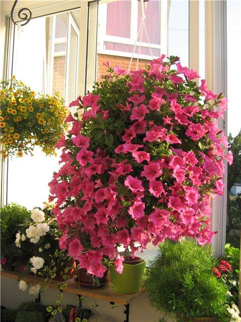 Ответы@mail.ru: какие цветы можно посадить на балкон? можно .