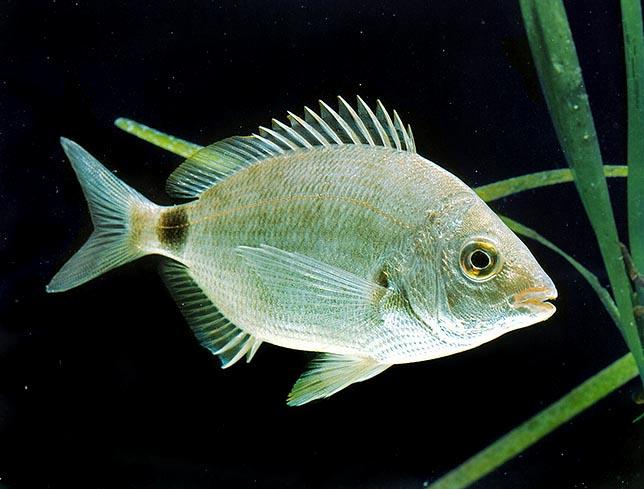правде рыбы адриатики фото боткинскую