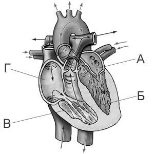 Схема сердца человека рисунок фото 278