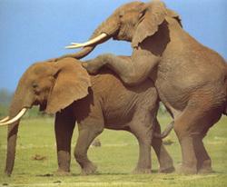 Слон беременность срок