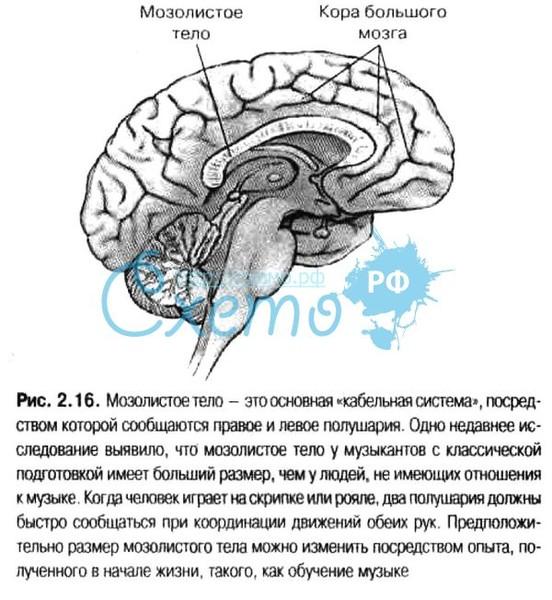 Тело Мозолистое