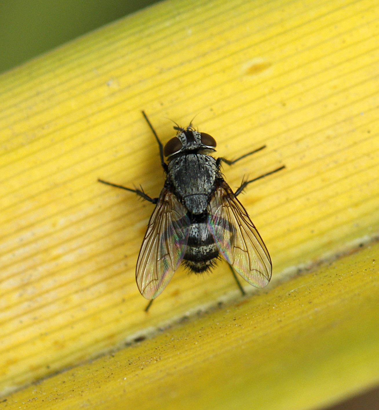 Сонная муха фото
