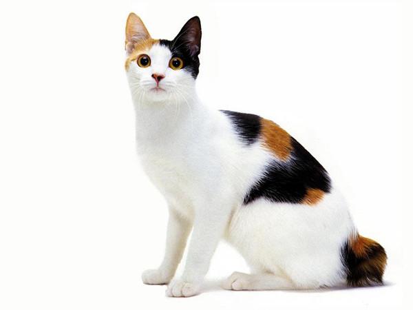 Ответы Mail.ru: Бывают ли трёхцветные коты? Это когда три ...
