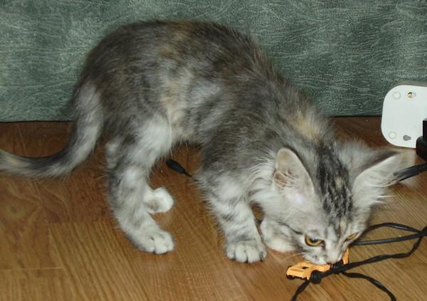 любых как определить пушистый будет котенок или нет квартиры
