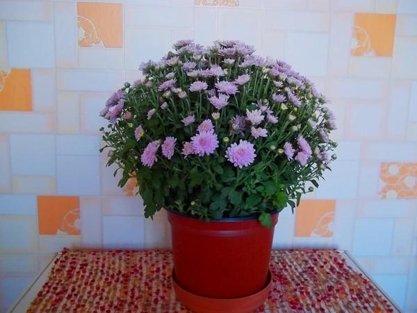 покрываем декоративное когда нужно пересаживать комнатные хризантемы фото скрипт, который изменяет