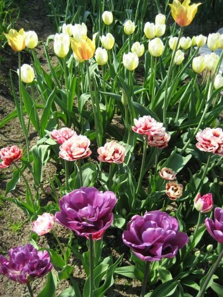 Когда сажать гиацинты и тюльпаны 72
