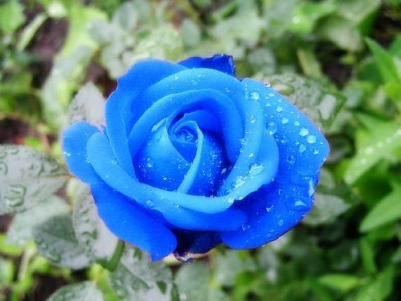 Существует синяя роза