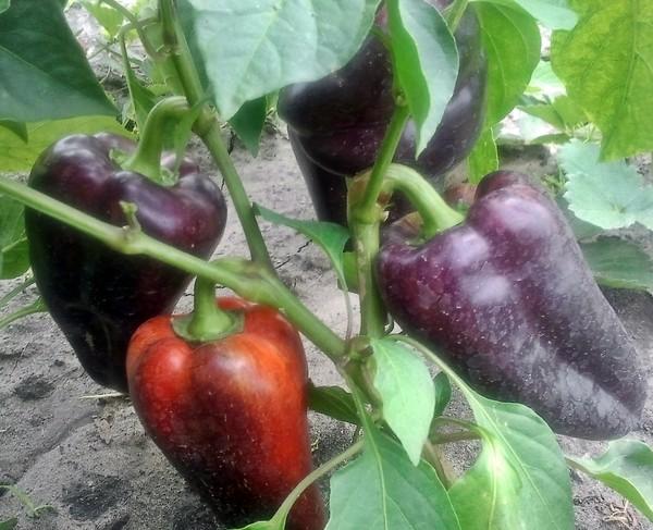 аэропортах риски почему на плодах перца появился фиолетовый оттенок Алтайский Край