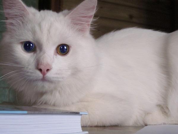 Альбинос фото коты
