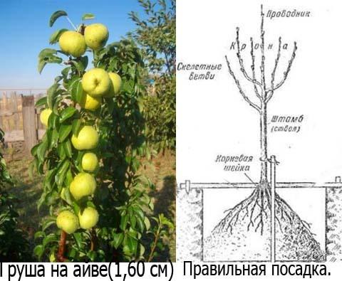 организме человека на сколько сантиметров подрастает яблоня этом