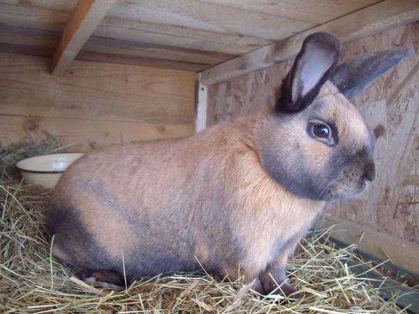 фирмы изготавливают какая порода мясных кроликов самая лучшая отзывы качественном