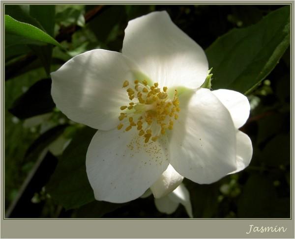 Что означает жасмин цветок