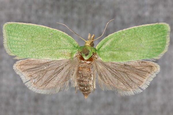 Совки  ночные бабочки Разновидности фото