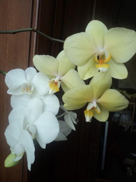 Орхидея это фаленопсис
