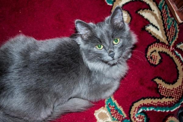 норвежская лесная голубая кошка