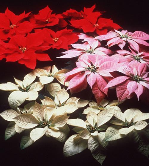 Цветок у которого листья зимой краснеют