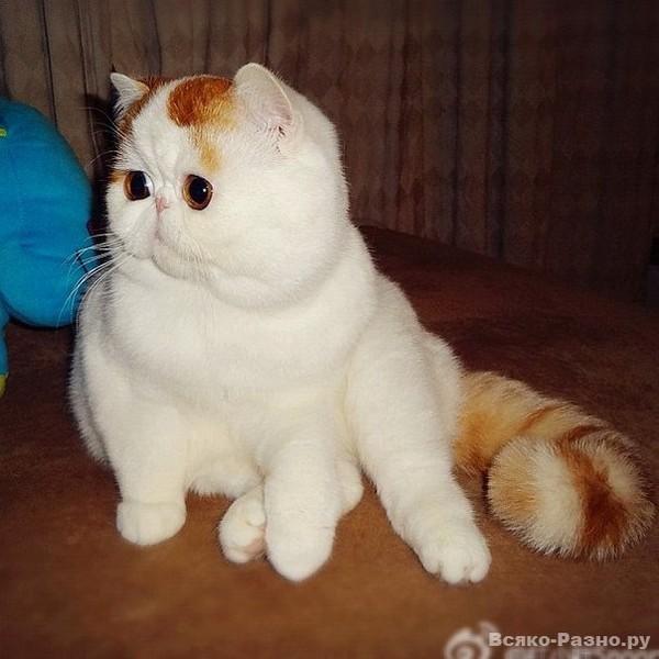 Коты породы японские