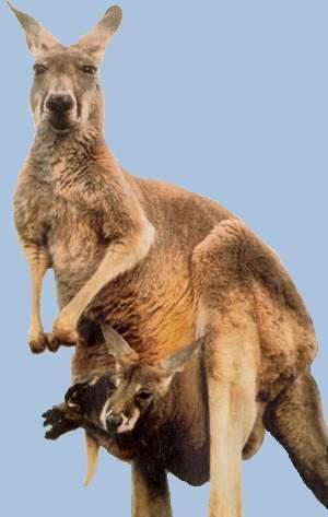 1a56f19aee9c У кенгуру есть сумка, в которой проводит первое время детеныш. Он был менее  двух сантиметров длины и весил ¾ грамма. Поначалу ученые решили, что  появляется ...