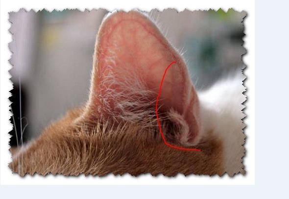 У кота опухло ухо внутри
