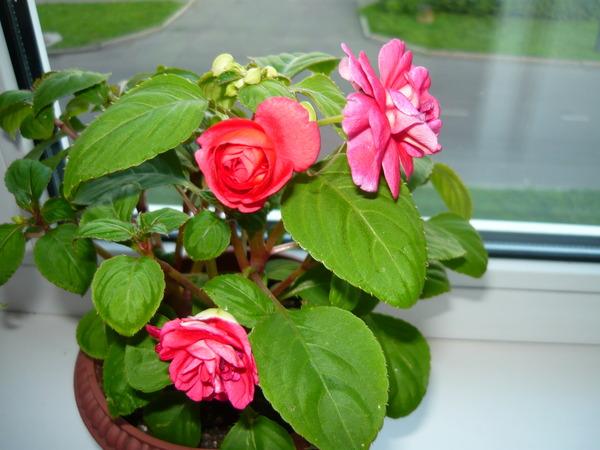 Ванька мокрый цветок можно ли держать дома
