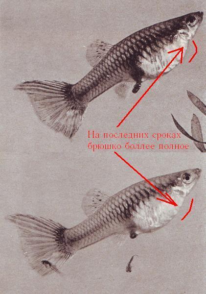 Как выглядит гуппи перед родами